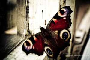 butterfly by Drawn-by-aquarel