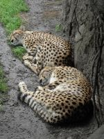 Sleeping cheetahs by Canislupuscorax
