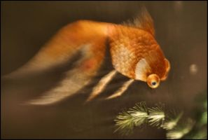Silky Fish Lensbaby by Incursion
