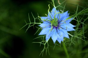 Love In A Mist by chris-stahl