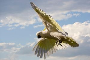 Sulphur Crested Cockatoo 122 by chezem