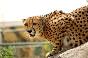 Cheetah by mystic552