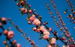Prunus Triloba_wp by alexever