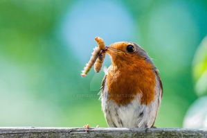 Robin by Perseus67
