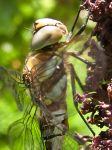 Migrant Hawker Dragonfly 1 by iriscup