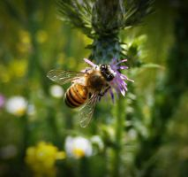 bee by lisans