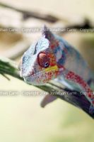 Panther Chameleon by InsaneGelfling
