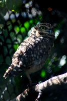 Burrowing Owl by EscaBowmer