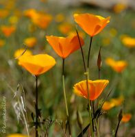Poppy Crop by kayaksailor