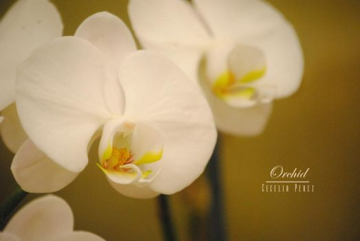 Orchid by Cecelia004