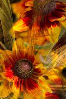 Heleniums by bale2012