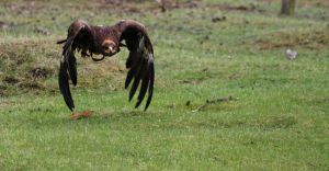steppe eagle_IV by deoroller