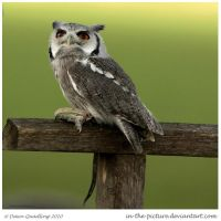 Statuesque Scops Owl by In-the-picture