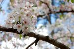 Cherry Blossom Festival - 4 - Blossoms in the sun by littlerobin87