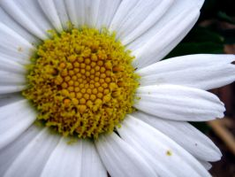 White Daisy Center Macro by Sing-Down-The-Moon