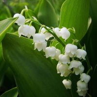 Convallaria majalis I by rosaarvensis