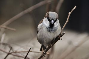 sparrow on a twig by LizRay