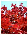 japanese maple by figment696