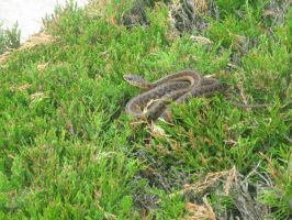 Snake in my Hedge by NightmareScare