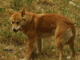 Dingo Eating Flesh of a animal by GreenNexus51