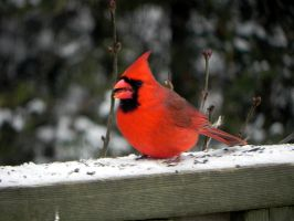yippee we have a cardinal again by Lou-in-Canada