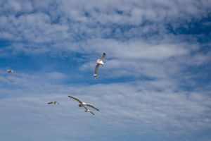 Flying gulls 2 by joannastar-stock