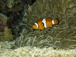 clownfish by DemonsChain-Stock