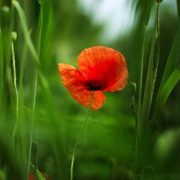 poppy on grassland. by simoendli