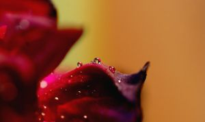 rose, drops by swestberg