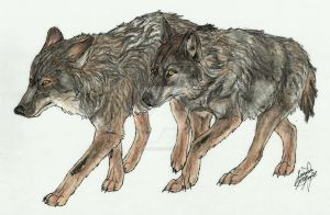 Iberian Wolves by Canis-Simensis