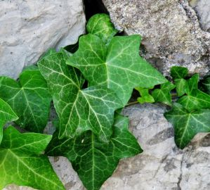 Stone Ivy by Delice1941