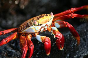 Sally Lightfoot Crab by Serendith