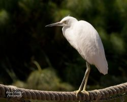 Snowy Egret 3 by EdgedFeather