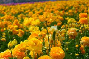 yellow by dale427