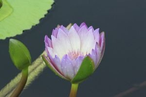 Purple Water Lily by CASPER1830
