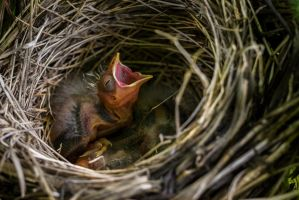 Red-Winged Blackbird nestlings by FoldedWilderness