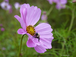 Wet bee on cosmos by Mogrianne