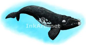Southern Right Whale by rogerdhall