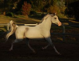 JA Arab Grey trot side on half shade half sun by Chunga-Stock