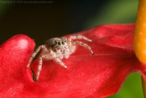 spider_1 by alsaigh
