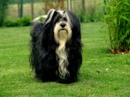 Caddy a Havanese from us by Snowstorm-wolf