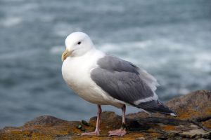 Seagull II by Cynnalia-Stock