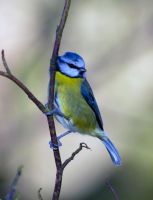 Blue Tit hanging out by Steve-FraserUK