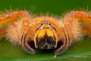 Malaysian  Orange Huntsman by melvynyeo