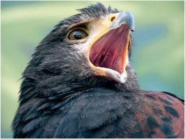 Harris Hawk Open Mouth Stock by TalkStock