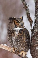 Great Horned Owl by tekk1e