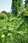 Taraxacum officinale by Shirabelle