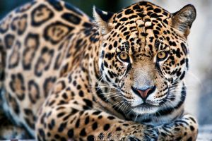 Gorgeous jaguar... by Seb-Photos