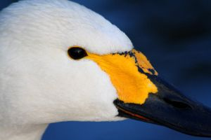 Bewick's Swan Portrait by Tinap