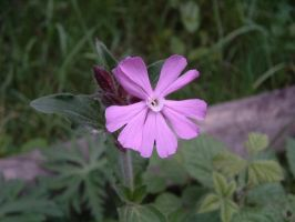 Red campion 1 by Birchall96